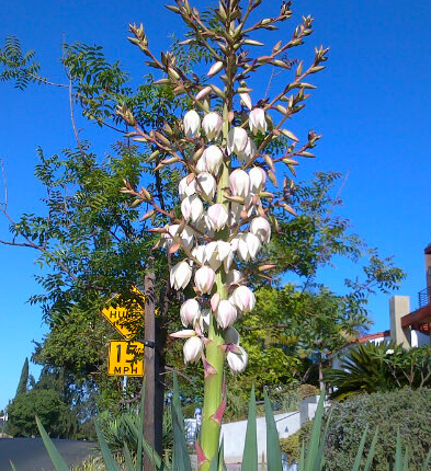 Yucca Flower in Bloom